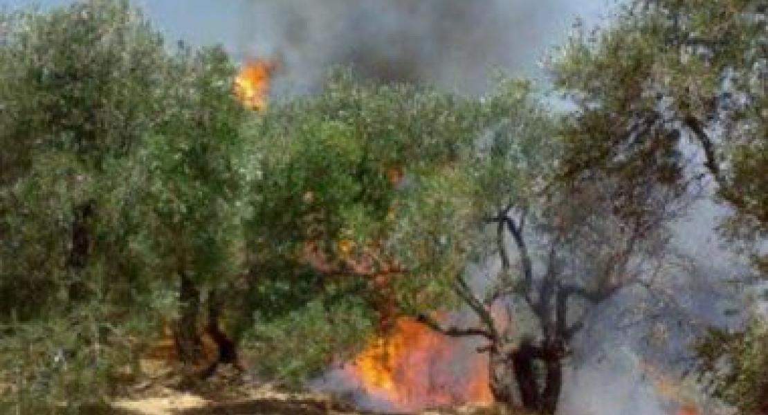 Israeli Concussion Grenades Burn 120 Olive Trees Near Jenin