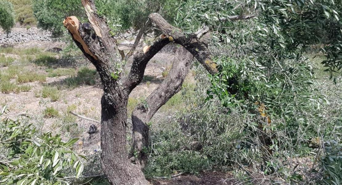Israeli Settlers Chop Down Dozens of Olive Trees near Nablus